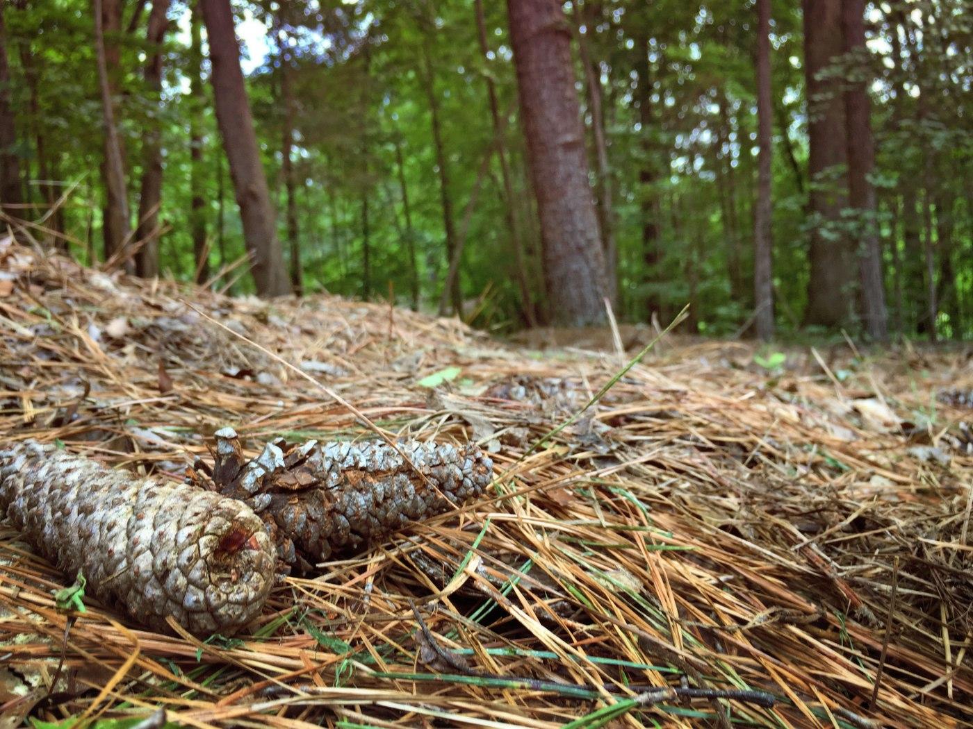 Pine Cones & Pine Straw