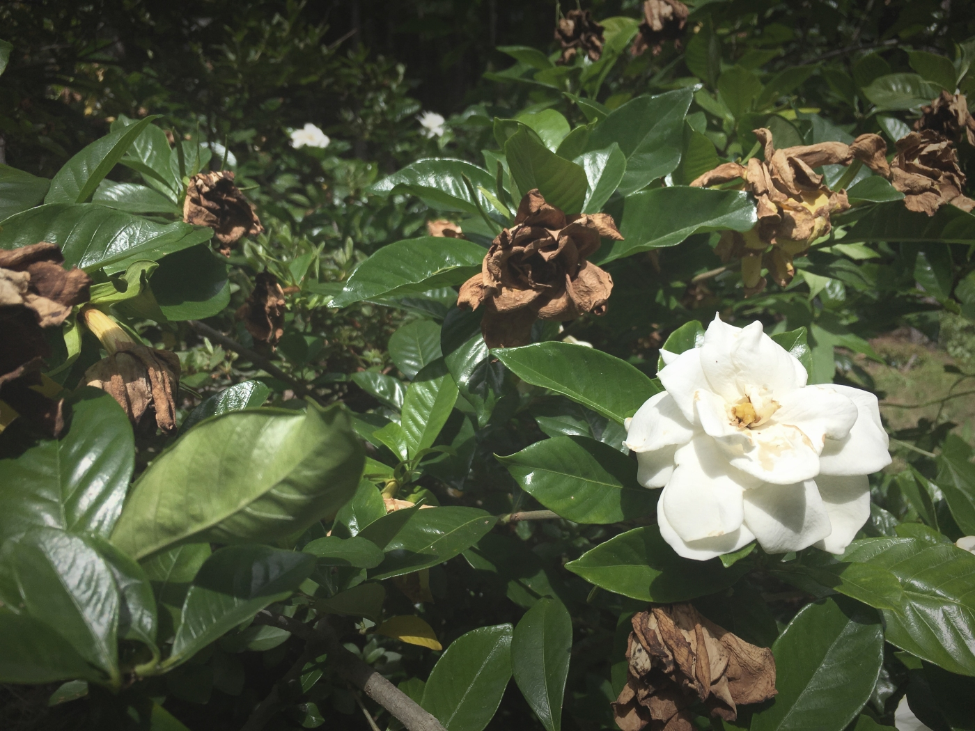 Gardenia Jasminoides in bloom